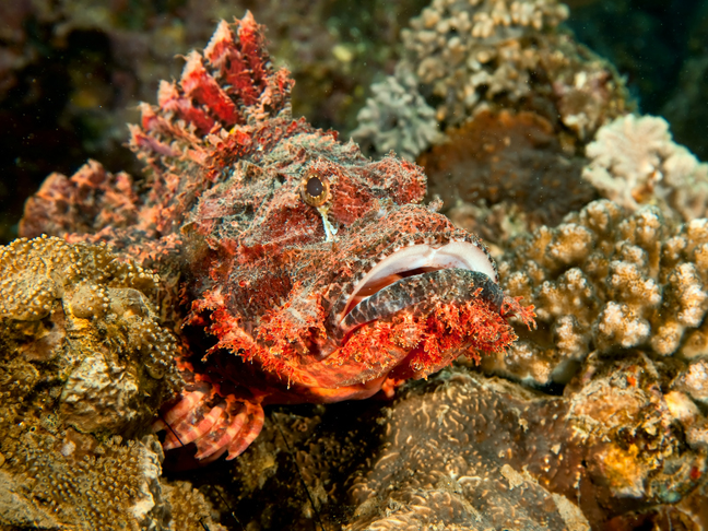 Image result for Tassled Scorpionfish